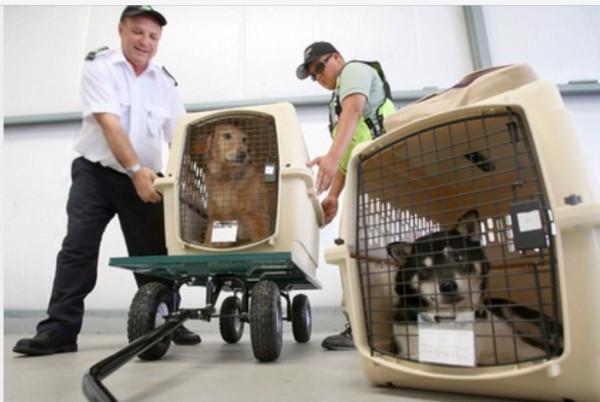 Овчарку держали взаперти в аэропорту 33 часа