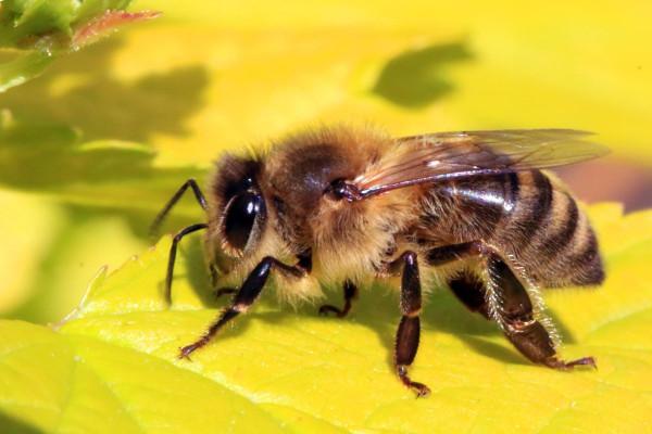 Ученые обнаружили новый вид уничтожающих пчел клещей