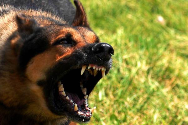 Служебная овчарка Минтранса напала на детей под Москвой