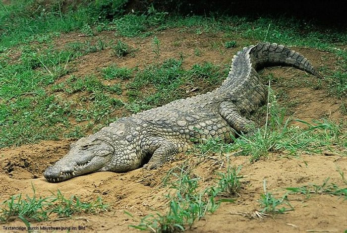 Крокодил укусил человека заголову вТаиланде