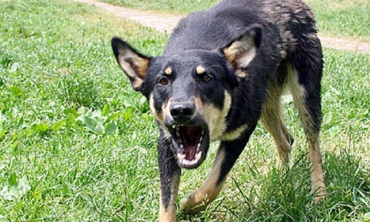 ВПермском крае бездомный пес покусал лицо малолетней девушки