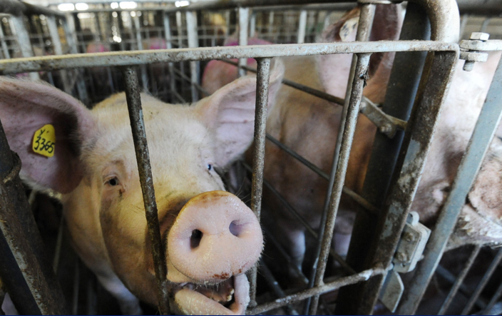 ВМексике свинья убила фермера вовремя потасовки
