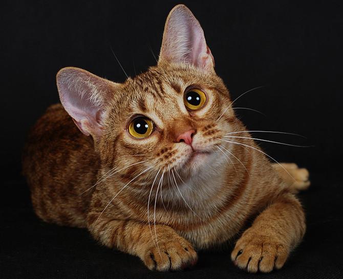 Ученые раскрыли тайну происхождения кошек
