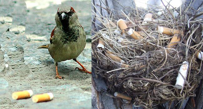 Зачем птицы собирают окурки