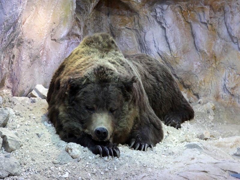 Ученые изСибири расшифровали геном старинного медведя