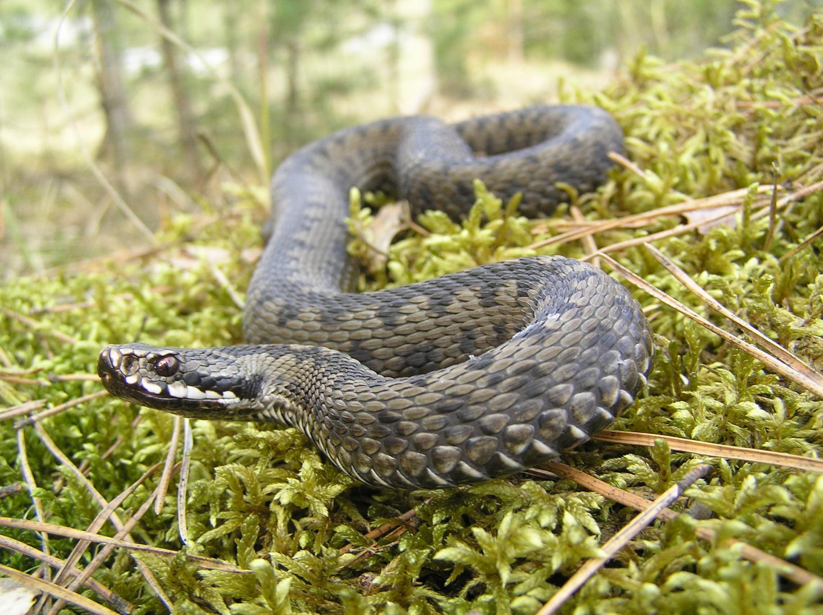 фото змії полісся
