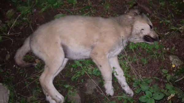 В Кисловодске ведется розыск убийц двух собак
