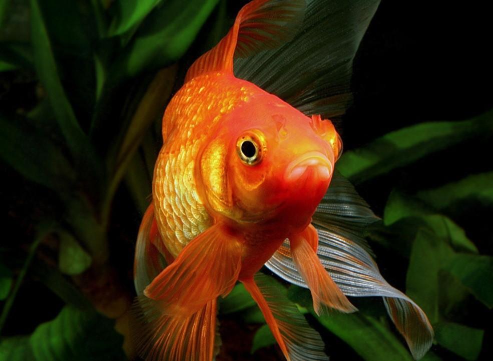 Запои помогают рыбкам месяц жить практически без воздуха— Ученые