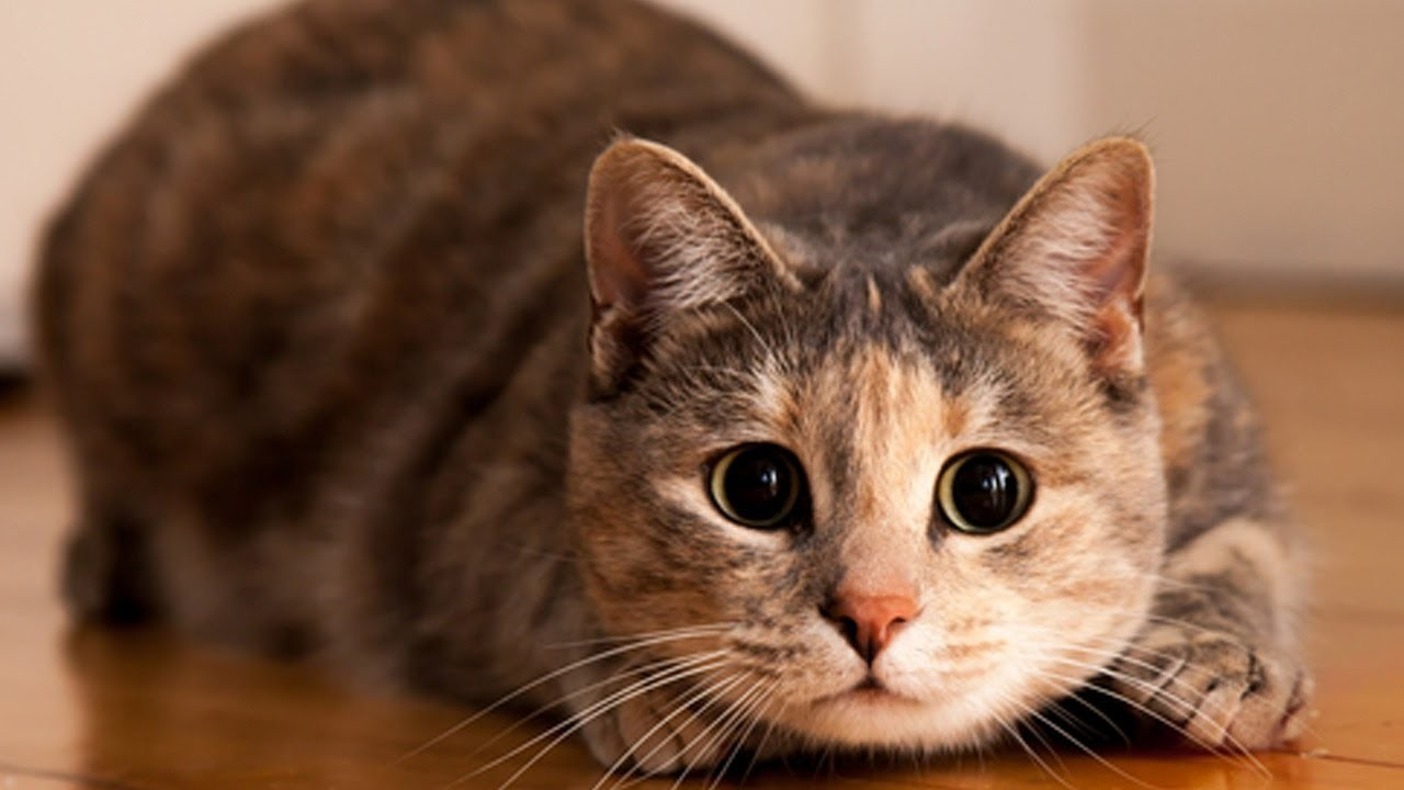 Ученые сообщили, что кошка имеет 5 личностей