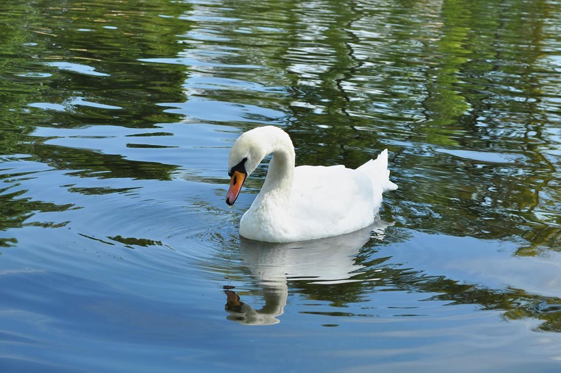 Парк Горького потратит 4,2 млн руб. надомик для лебедей