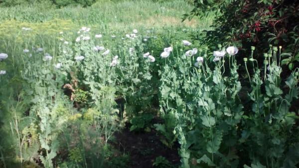 В Тверской области у женщины на огороде нашли 285 кустов наркотического мака