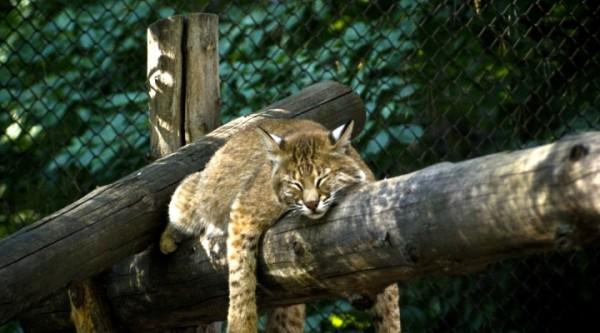 В Новосибирске кошки выкормили малышей сервала и каракала
