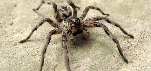 Жительницу Воронежской области преследует жуткий паук-топотун и его семейство