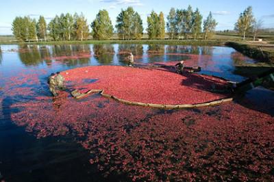 В Подмосковье ягодные болота берут под охрану
