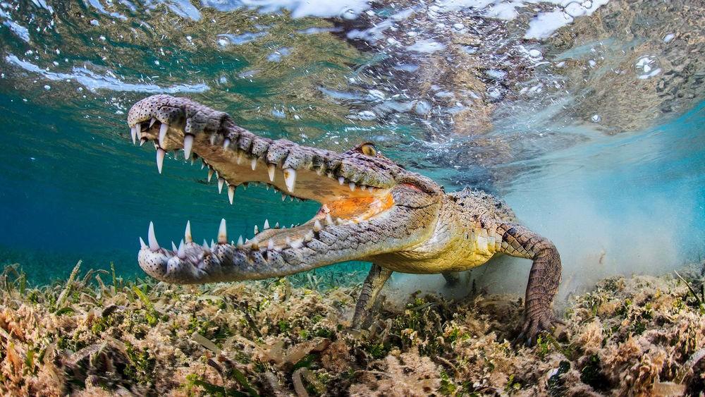Крокодил убил заклинателя вИндонезии