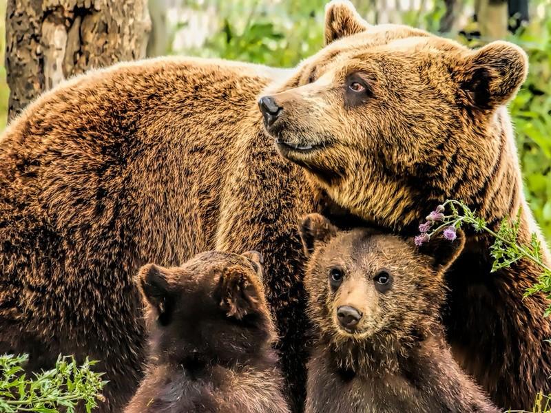 ВКанаде медведица смедвежатами ушли счастного двора после просьбы владельца