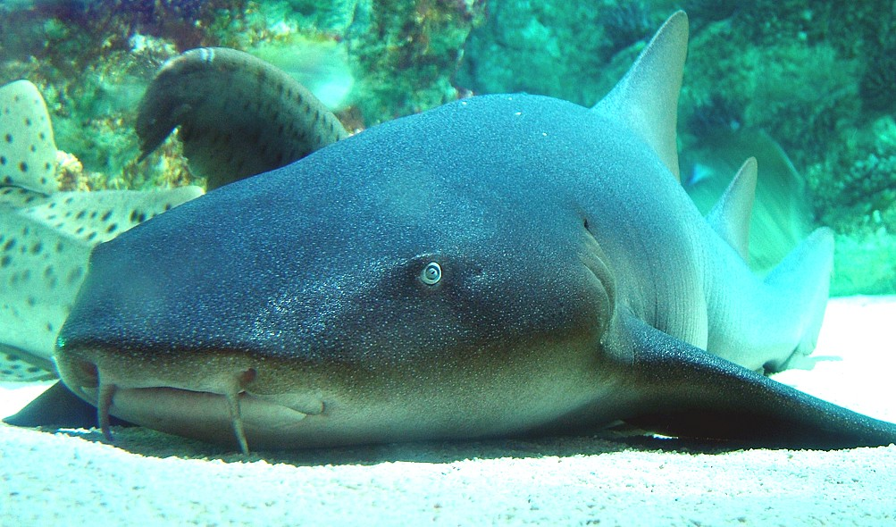 ВоФлориде акула-няня едва неразорвала брюхо неосторожному рыбаку