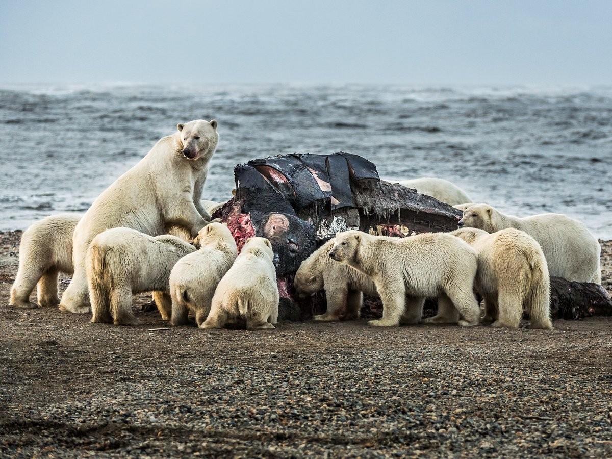 НаЧукотке туристы увидели пир 230 белых медведей