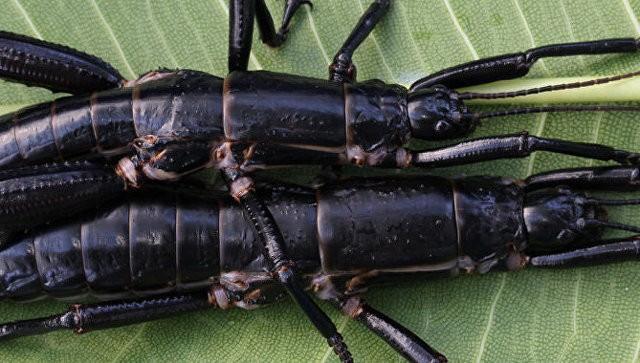 Ученые отыскали неповторимых насекомых, считавшихся вымершими практически 100 лет