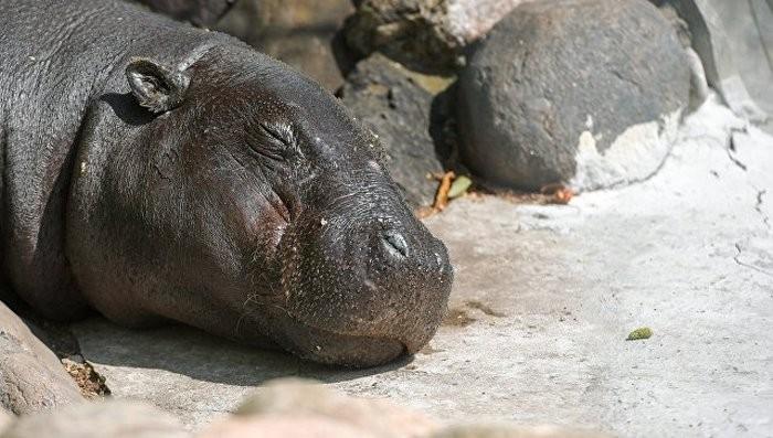 Сибирская язва могла стать предпосылкой погибели неменее 100 бегемотов вНамибии