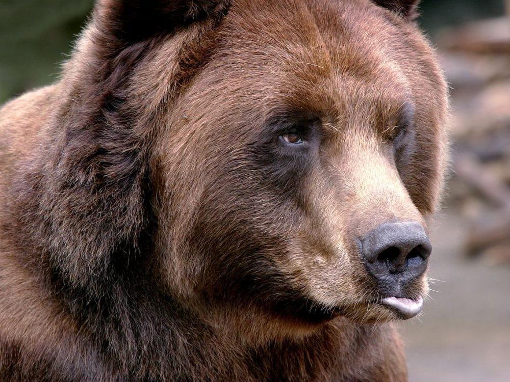 Медведь напал на дрессировщика в Сыктывкаре на глазах у детей