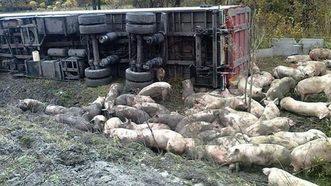 НаПолтавщине съехала вкювет иперевернулась фура, перевозившая свиней— Страница видео