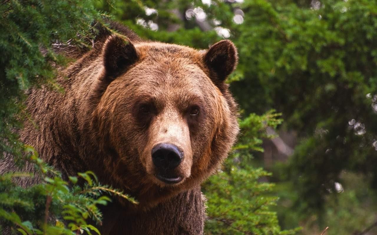 Дело онападении медведя начеловека под Воронежем дошло до руководителя СКР