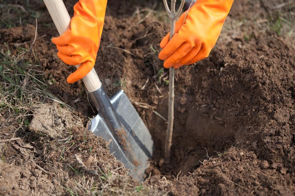 Вдоль мусорного полигона вНовоселках заново высадили деревья