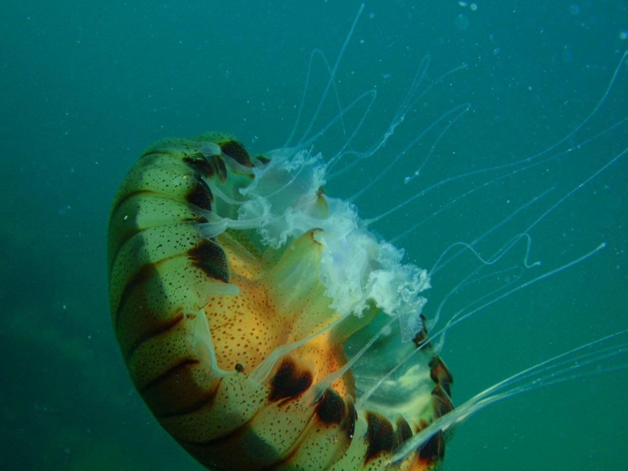 Учёные засняли навидео жуткую арктическую медузу