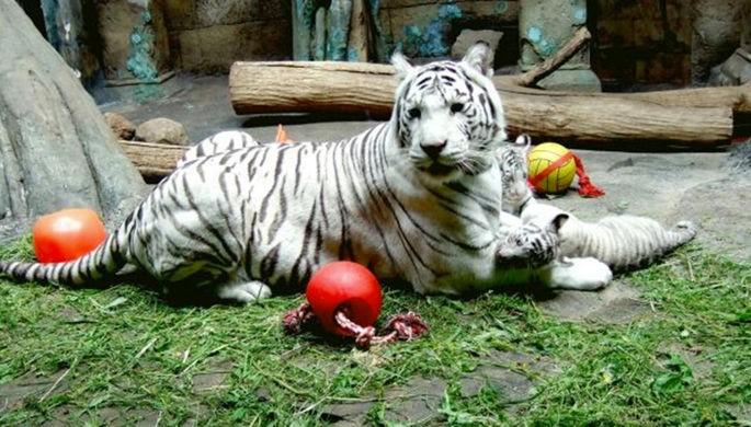 Белая тигрица Кали скончалась вмосковском зоопарке