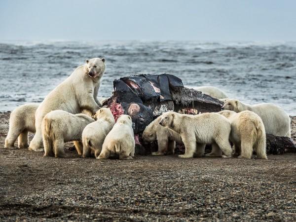 Более 200 белых медведей собрались поесть тушу кита на острове Врангель