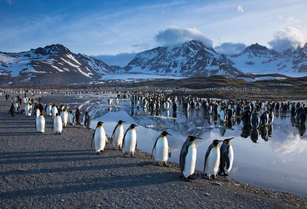Из-за голода колония пингвинов Адели лишилась потомства в Антарктике