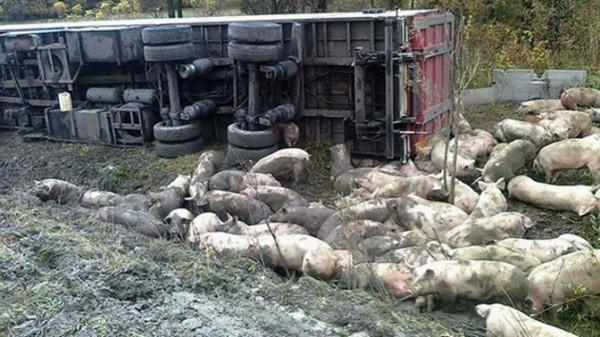 Под Полтавой перевернулся грузовик со свиньями