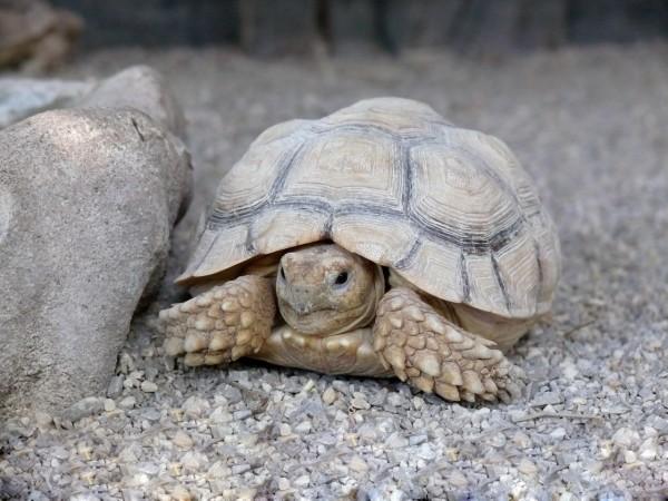 Ветеринары впервые обнаружили черепаху-гея на Острове Елены