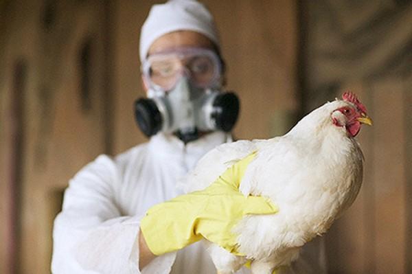 В Ростовской области выявлена вспышка птичьего гриппа