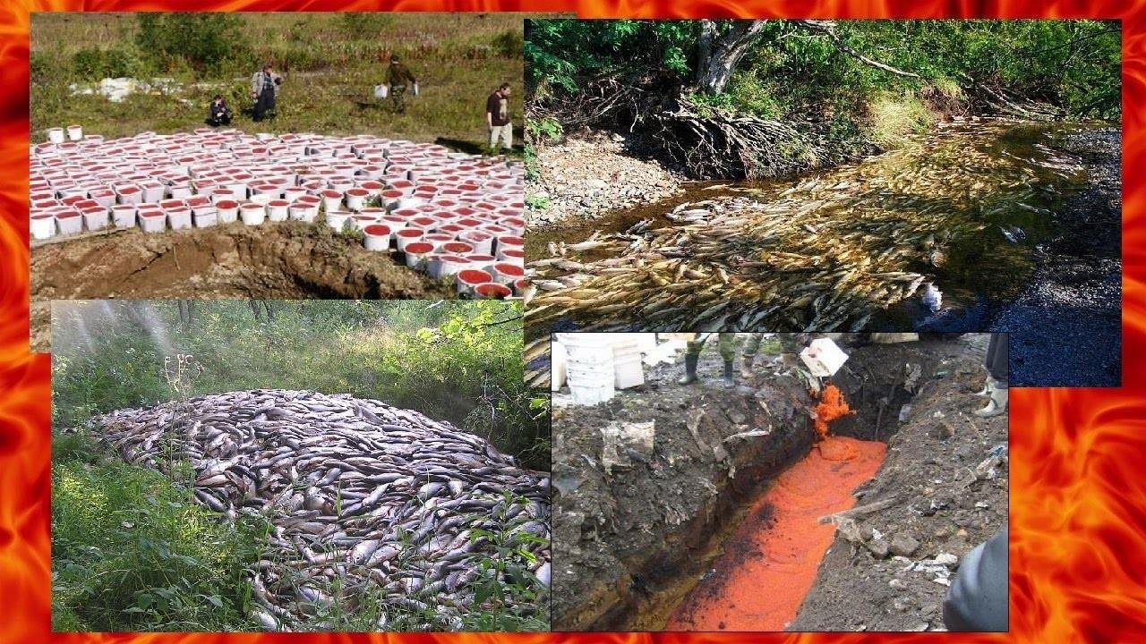 Видеокадры утилизации 25 тонн браконьерской красной икры наКамчатке