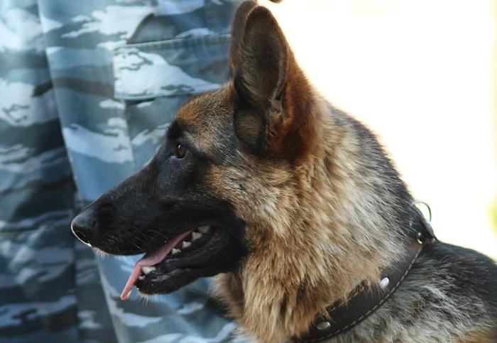 НаСтаврополье вколонии служебный пес Дик отыскал наркотики ввареной курице