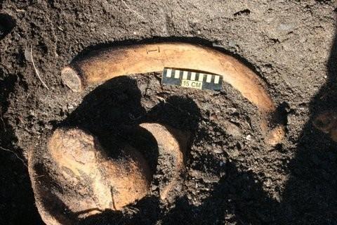 НаКамчатке найден скелет древней морской коровы Стеллера