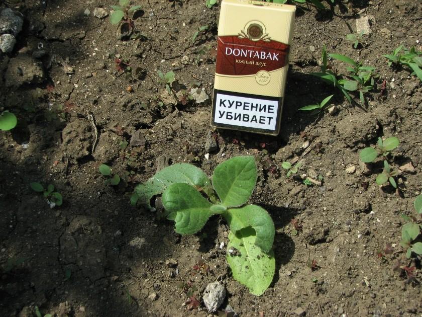 Жители России начали растить табак научастках