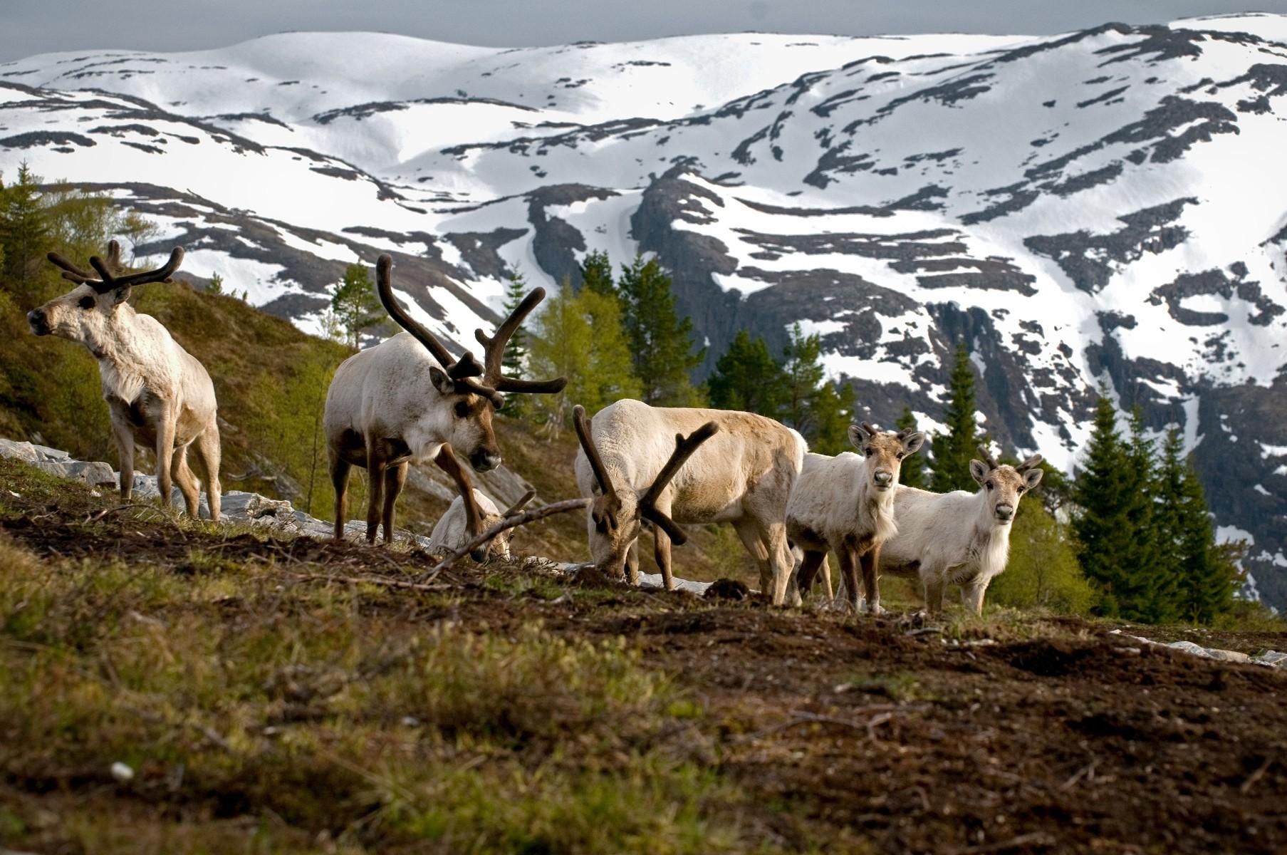 ВНорвегии зачетыре дня поезда сбили 106 северных оленей
