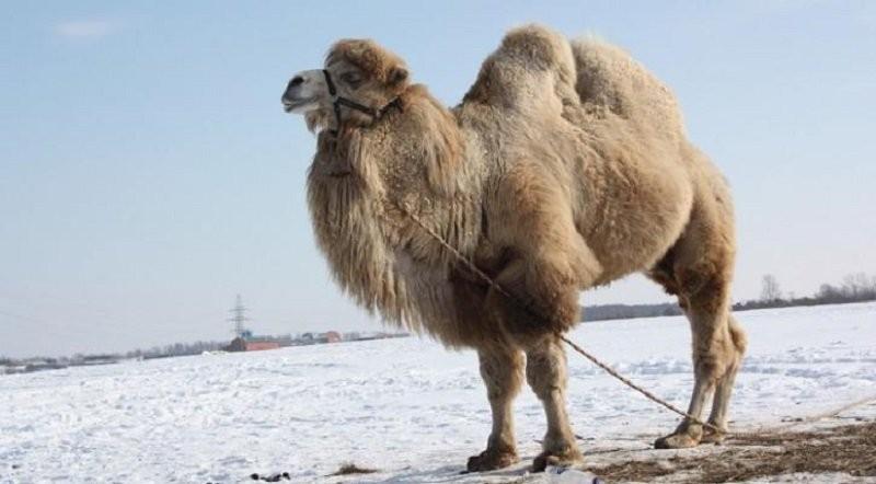Жительница Ростовской области реализует доброго верблюда