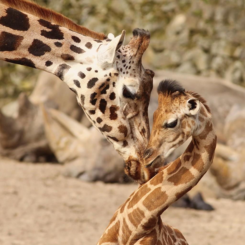 Навидео попало сражение жирафов сольвом