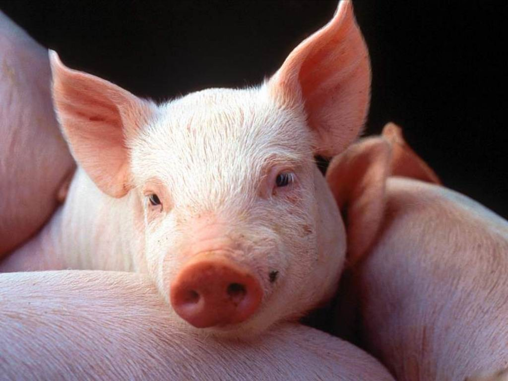 Три поросёнка погибли при пожаре  науфимской свиноферме
