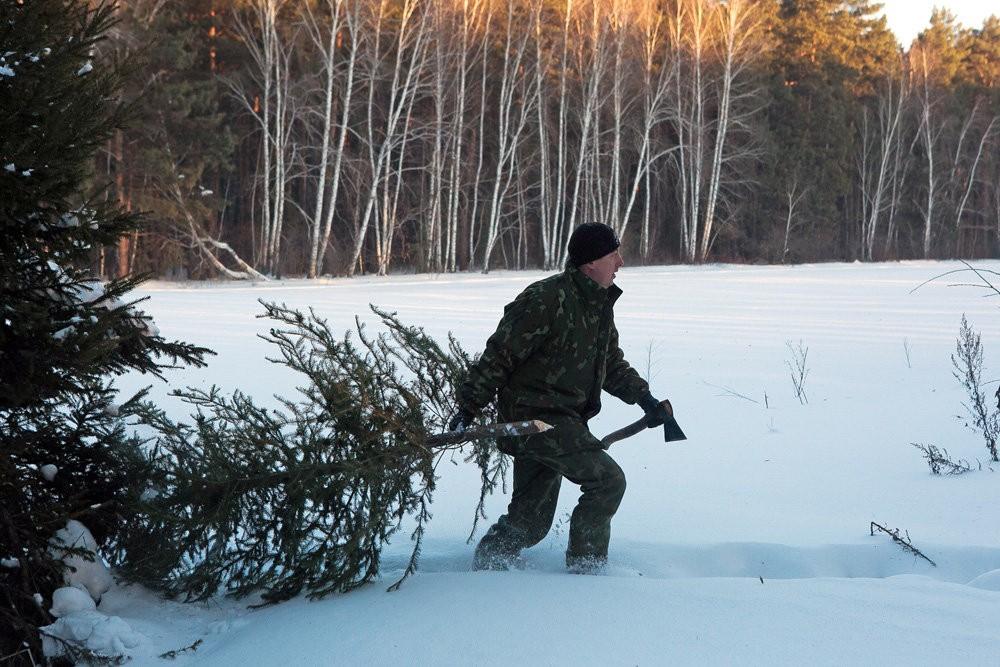 Выяснилось, какое наказание ожидает  за преступную  вырубку елок