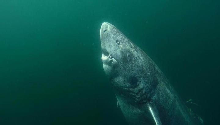 Найдено самое старое позвоночное наЗемле— акула возрастом 512 лет