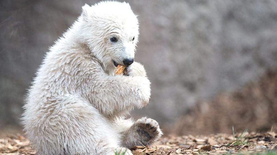 ВИжевске родился белый медвежонок
