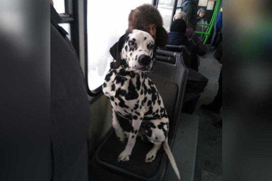 ВКрасноярске одинокий далматинец катается вавтобусах впоиске владельца
