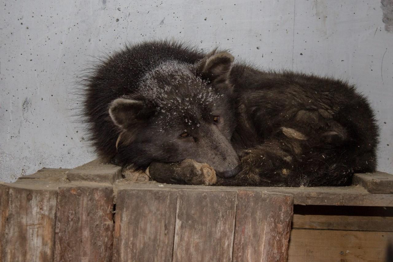 Медведь либо  собачка ? ВЧелябинске обнаружили неповторимое  животное, поставившее втупик соцсети,