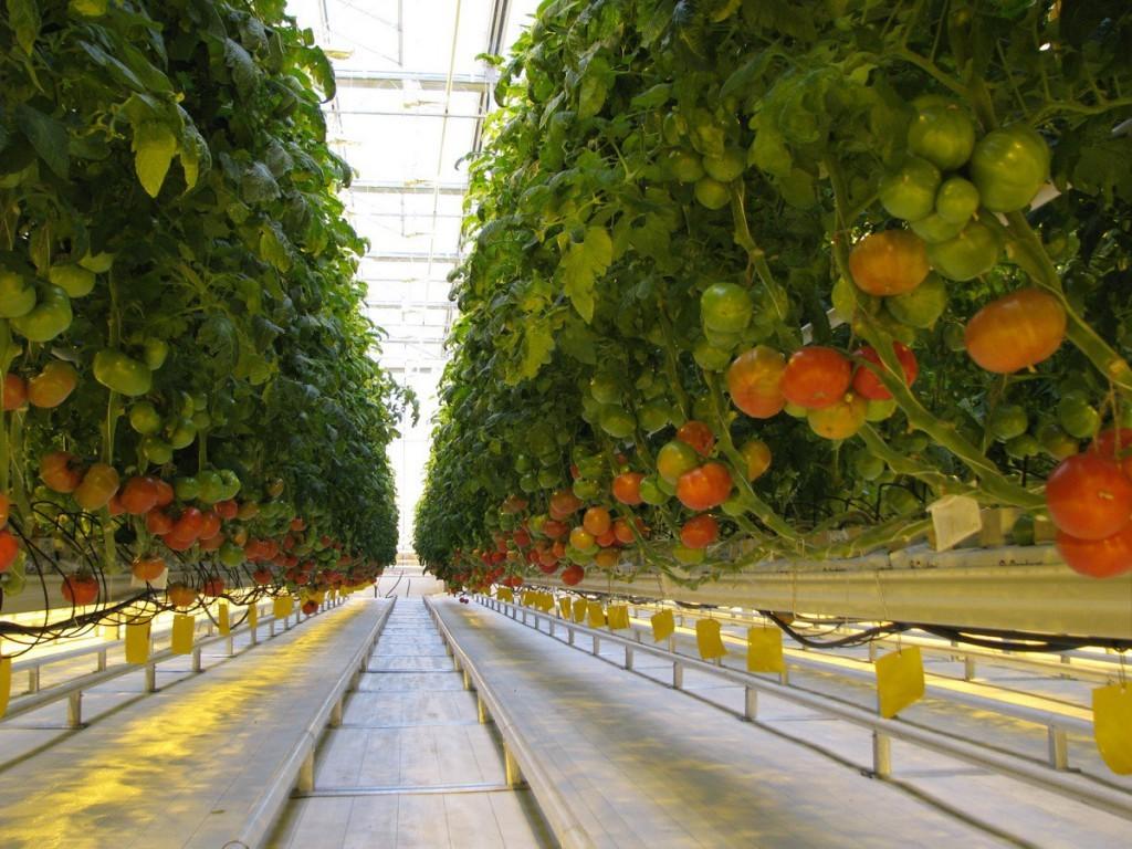 Ставрополье будет лидером попроизводству тепличных овощей вРФ к2020г