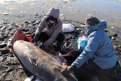 ВСША наберегу отыскали насмерть замерзших акул